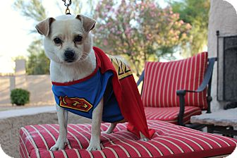 Chihuahua/Pug Mix Dog for adoption in Phoenix, Arizona - Kurt aka Clark Kent
