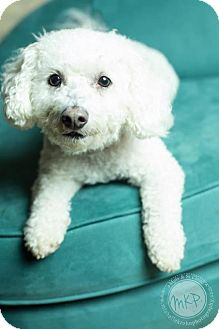 Bichon Frise Dog for adoption in St. Paul, Minnesota - Geno