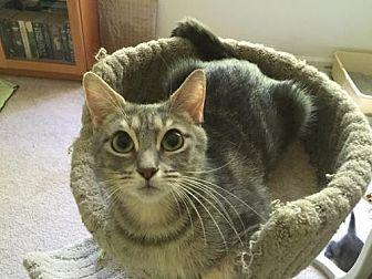 Domestic Shorthair Cat for adoption in Herndon, Virginia - Khloe