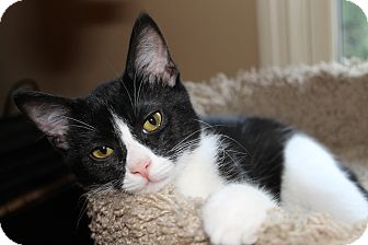Domestic Shorthair Kitten for adoption in Chattanooga, Tennessee - Gizmo