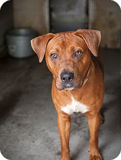 Pit Bull Terrier Mix Dog for adoption in Henderson, North Carolina - Tank*