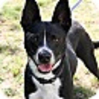 Boston Terrier/Terrier (Unknown Type, Small) Mix Dog for adoption in Alexandria, Virginia - TonyBLU