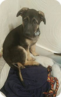 Shepherd (Unknown Type)/Labrador Retriever Mix Puppy for adoption in Hayes, Virginia - Diamond