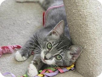 Domestic Mediumhair Kitten for adoption in Hawthorne, California - Igor