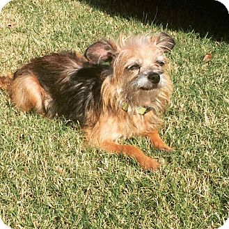 Yorkie, Yorkshire Terrier Mix Dog for adoption in Williamsburg, Virginia - ELLIE