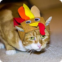 Domestic Shorthair Cat for adoption in Baltimore, Maryland - Gible
