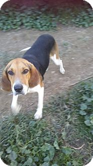 Treeing Walker Coonhound Mix Dog for adoption in Upper Sandusky, Ohio - NORTON