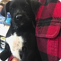 Adopt A Pet :: Mini - Hohenwald, TN