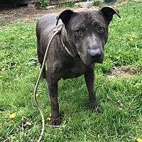 Adopt A Pet :: Pippa - Spokane, WA