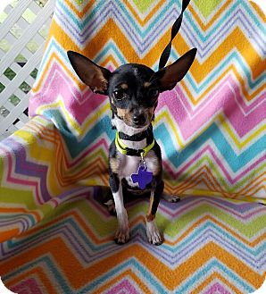 Chihuahua Mix Puppy for adoption in Pittsburgh, Pennsylvania - Isla