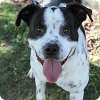 Cattle Dog/Terrier (Unknown Type, Medium) Mix Dog for adoption in Joliet, Illinois - Boy boy