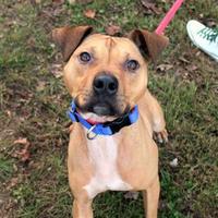 American Pit Bull Terrier Mix Dog for adoption in Auburn, Alabama - Dixon