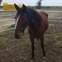 Thoroughbred/Thoroughbred Mix for adoption in Fresno CA, California - Lizzie