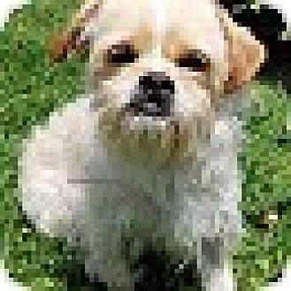 Brussels Griffon/Shih Tzu Mix Dog for adoption in Los Angeles, California - Trumpet