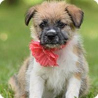 Adopt A Pet :: Shannon - Denver, CO