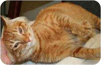 Domestic Shorthair Cat for adoption in Norwalk, Connecticut - Canary