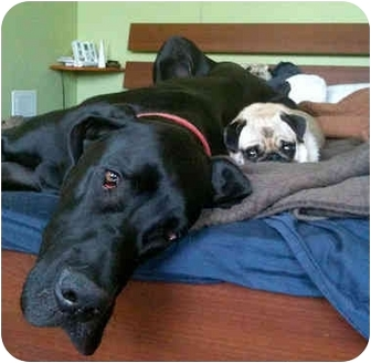 Great Dane Dog for adoption in Hanover, Maryland - Duke #2