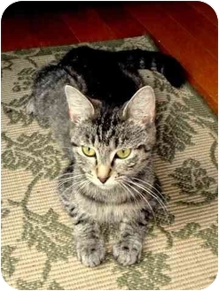 Domestic Shorthair Cat for adoption in Port Republic, Maryland - April