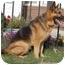 Photo 4 - German Shepherd Dog Mix Dog for adoption in Los Angeles, California - Franklin von Frankfurt
