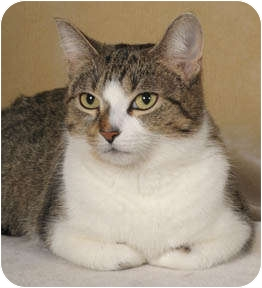 Domestic Shorthair Cat for adoption in Chicago, Illinois - Kayley