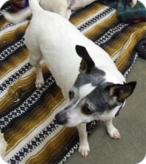 Rat Terrier Mix Dog for adoption in Kalamazoo, Michigan - Cleo