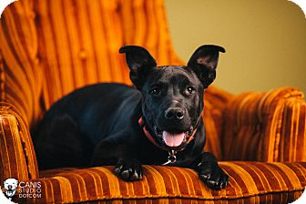 Labrador Retriever/Pit Bull Terrier Mix Puppy for adoption in Portland, Oregon - Howie
