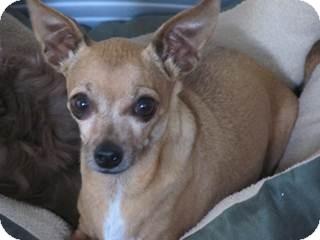 Chihuahua Mix Dog for adoption in San Diego, California - Fanny