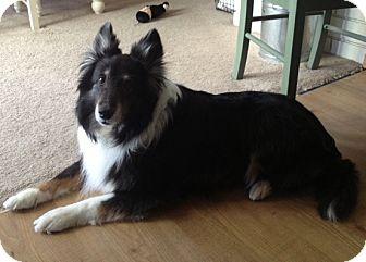 Sheltie, Shetland Sheepdog Dog for adoption in La Habra, California - Bob