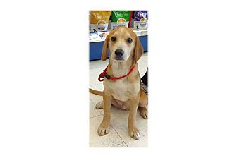 Beagle Mix Puppy for adoption in Pompton Lakes, New Jersey - Zach