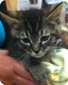 Domestic Longhair Kitten for adoption in Brea, California - JOHNNY