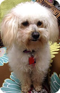 Poodle (Toy or Tea Cup) Mix Dog for adoption in Thousand Oaks, California - Demi