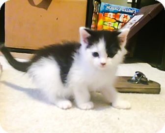 Domestic Mediumhair Kitten for adoption in Crown Point, Indiana - Fisbo