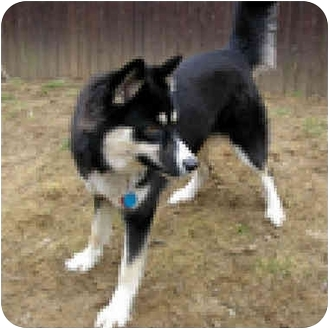Siberian Husky Dog for adoption in Various Locations, Indiana - Zola