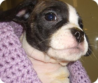 American Bulldog/French Bulldog Mix Puppy for adoption in Coudersport, Pennsylvania - BRANDY