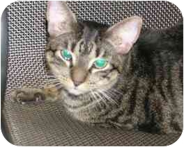 Domestic Shorthair Cat for adoption in Laurel, Maryland - Chessie