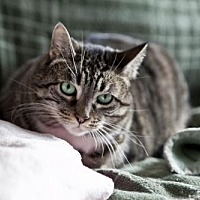 Domestic Shorthair Cat for adoption in Midway City, California - Charlie