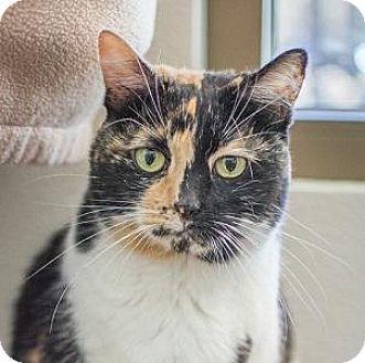 Domestic Shorthair Cat for adoption in Truckee, California - Harmony