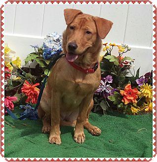 Labrador Retriever Mix Dog for adoption in Marietta, Georgia - PATTI (R)
