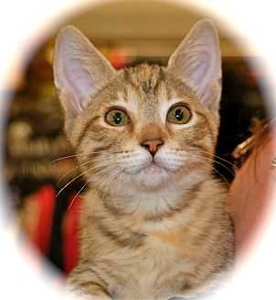 Domestic Shorthair Kitten for adoption in Franklin, Indiana - Elani