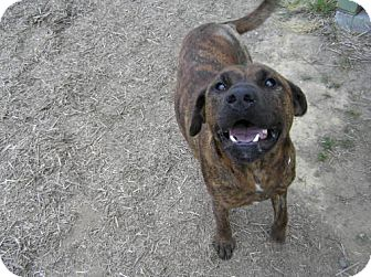Boxer/American Staffordshire Terrier Mix Dog for adoption in Reedsport, Oregon - Tres