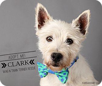 Westie, West Highland White Terrier Dog for adoption in Omaha, Nebraska - Clark-Pending Adoption