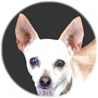 Chihuahua Dog for adoption in Sandown, New Hampshire - Kamico (Texas)