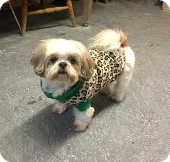 Shih Tzu Dog for adoption in Manhattan, New York - Sugar