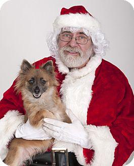 Pomeranian/Chihuahua Mix Dog for adoption in Chicago, Illinois - Zelda