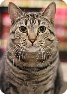 Domestic Shorthair Cat for adoption in Sacramento, California - Dutchess