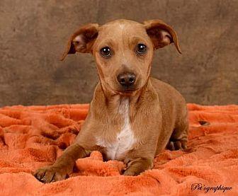 Dachshund/Beagle Mix Dog for adoption in Henderson, Nevada - Little Man (Chestnut)