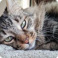 Adopt A Pet :: Karma Kitty-Pending - Oberlin, OH
