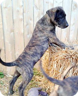 Golden Retriever Mix Puppy for adoption in Bloomington, Illinois - Pongo