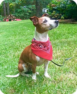 Jack Russell Terrier/Italian Greyhound Mix Dog for adoption in Huntsville, Alabama - Bella