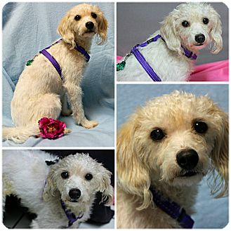 Terrier (Unknown Type, Small)/Maltese Mix Dog for adoption in Forked River, New Jersey - Adeline